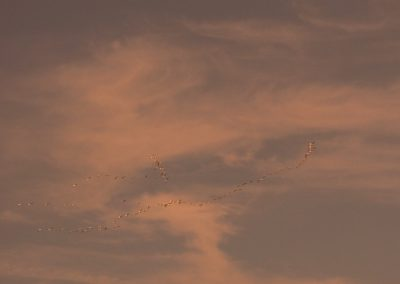 Snow Geese not sure what time it is